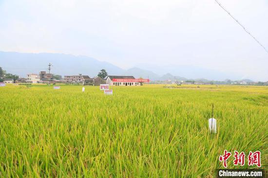 图为灌阳超级稻资料图。 蒋人轲 摄