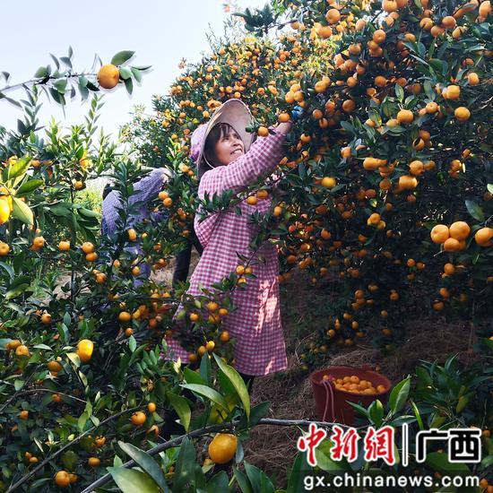 果农在果园采摘蜜桔。