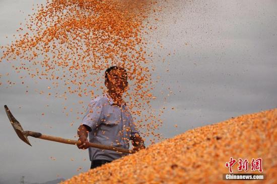 新疆巴音郭楞蒙古自治州和碩縣一位農民在揚玉米粒。確·胡熱 攝