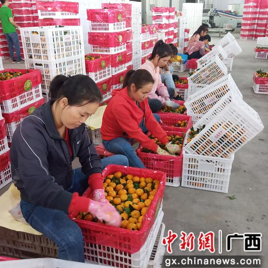 選果場的工人在裝果。