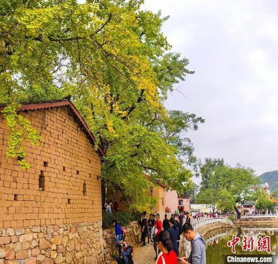 11月16日,游人赴灵川县海洋乡欣赏银杏树。 杨宗盛 摄