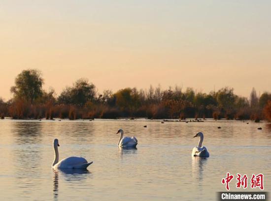 首批天鵝飛臨伊犁河國家濕地公園內的芳草湖棲息。史恭敬 攝