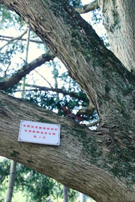 古香榧树 东阳宣传部提供