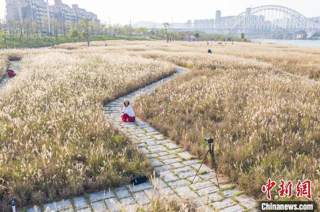 """南宁芒草花海成""""网红""""景点 市民争相拍照"""