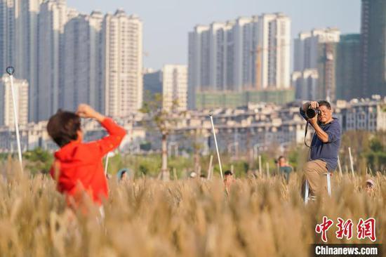 图为市民在花海内拍照。 陈冠言 摄