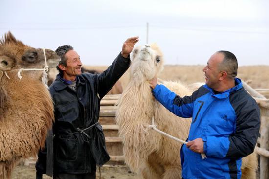 且末县:骆驼背上开辟出新生活