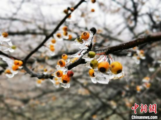 摩天岭树上结冰的野果,晶莹剔透。 李义成 摄