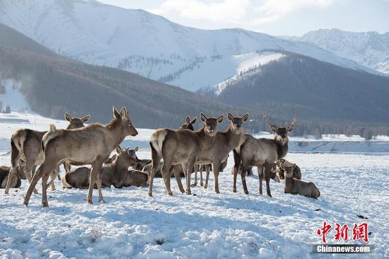 新疆东天山冬雪初霁 野鹿结群下山觅食