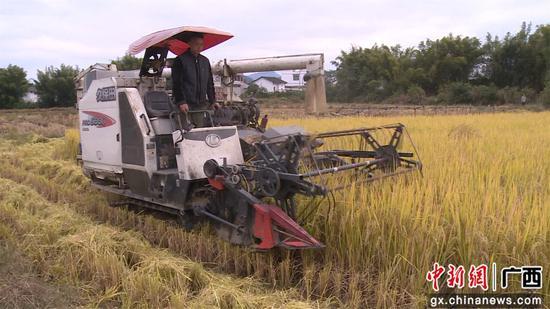 合作社工人在收割优质水稻。