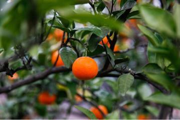 千岛湖柑橘。 淳宣 供图