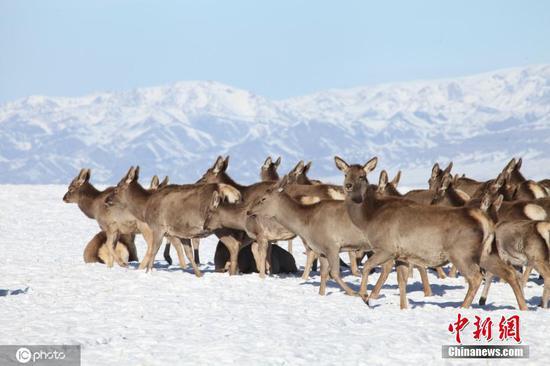 萌態可掬!新疆天山馬鹿走出山林結群覓食