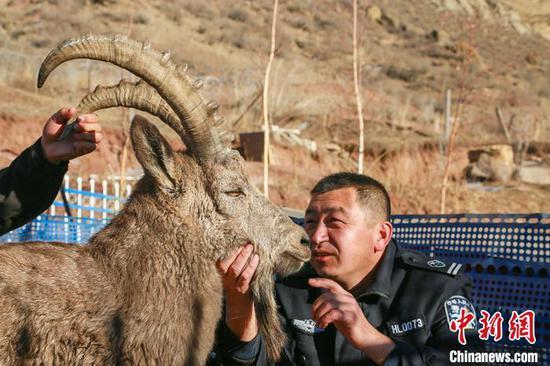 新疆呼图壁县救助国家一级保护动物北山羊并放归大自然