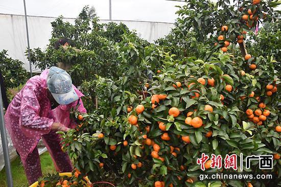资料图:永福县果农在采摘沙糖桔。