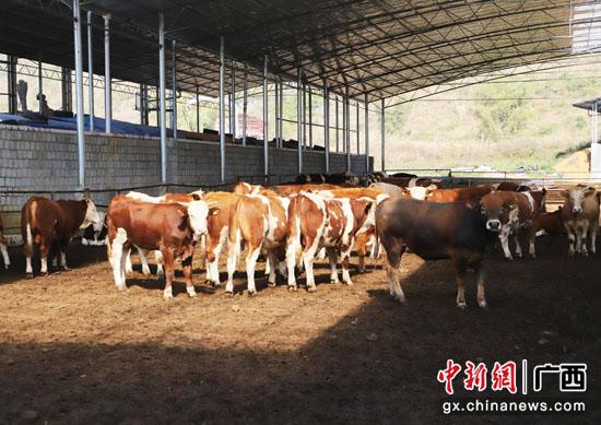 广西上林县:粤桂扶贫协作点亮脱贫新希望