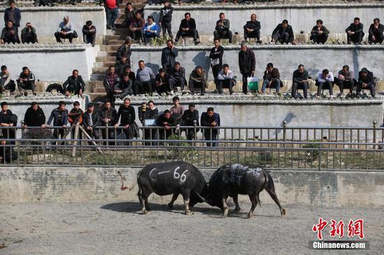 12月13日,贵州省榕江县乐里七十二侗寨举办民俗牛王争霸赛,欢庆侗族新年。中新社记者 贺俊怡 摄