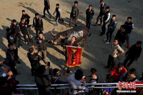 12月13日,获得当日比赛第一名的斗牛牛主手持锦旗向观众致敬。当日,贵州省榕江县乐里七十二侗寨举办民俗牛王争霸赛,欢庆侗族新年。中新社记者 贺俊怡 摄