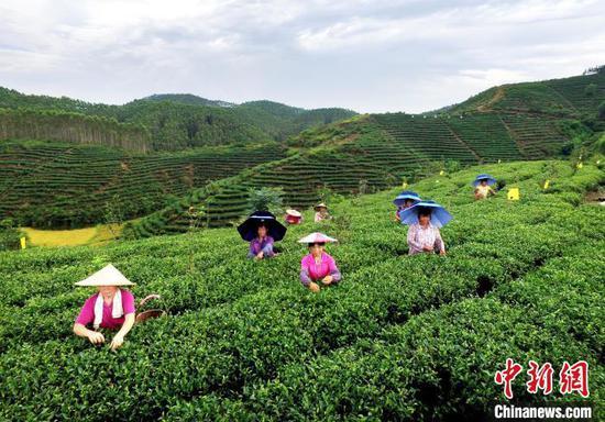 资料图:广西贵港市港南区北一富硒茶叶生产基地。 港南宣 摄