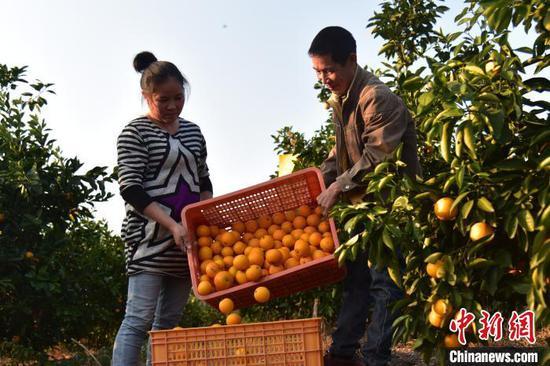 果农将橙子装筐。 王以照 摄