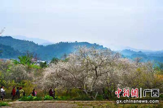 众多游客到宾阳县陈平镇赏梅、游玩。