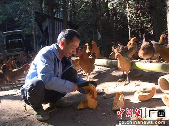 廣西鹿寨貧困戶變身養雞大戶