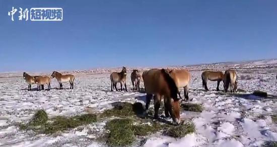 探访世界最大野马繁殖基地 现有野马种群达到439匹