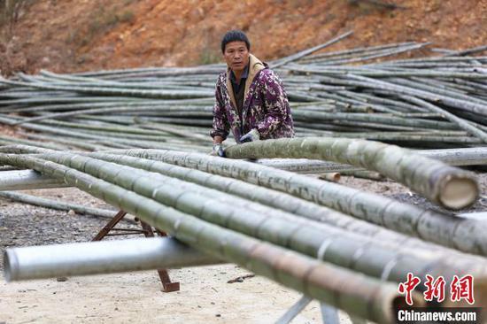 工人正在搬运竹子。 朱柳融 摄