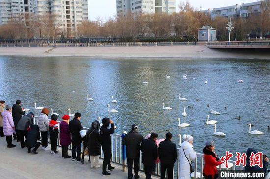 新疆庫爾勒市連續15年迎來越冬天鵝 成城市靚麗名片