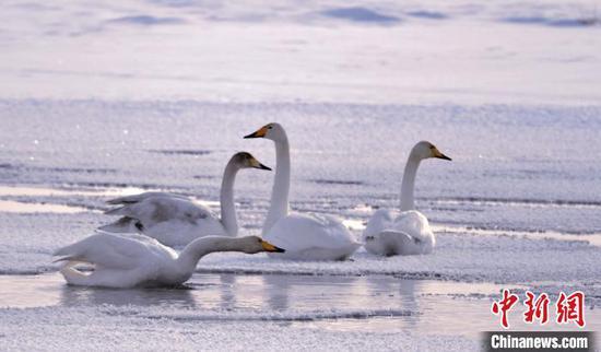 隆冬腊月 新疆巴音布鲁克草原天鹅与白雪相映成趣