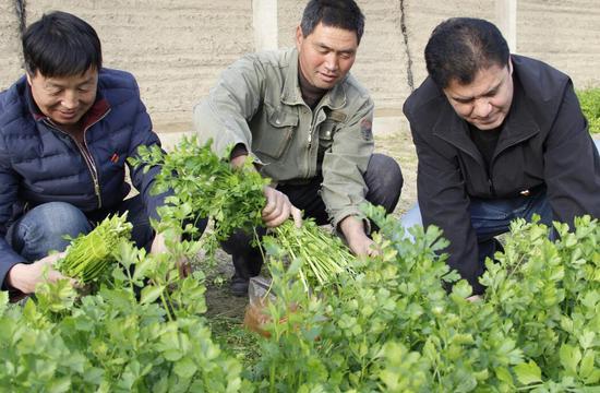 和静县工作队为村民采收蔬菜助力