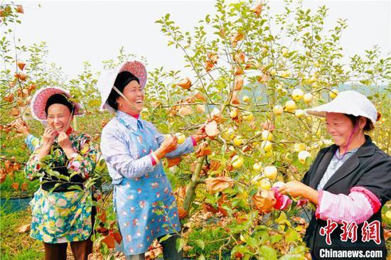 资料图:长顺高钙苹果喜获大丰收。贵州省委宣传部供图