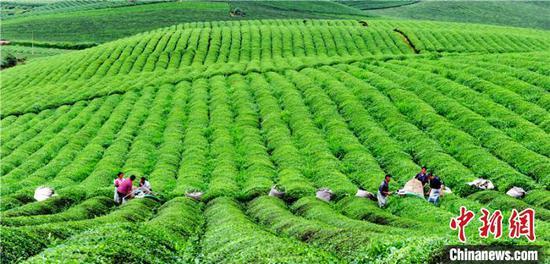 资料图:湄潭茶场。 谢强 摄