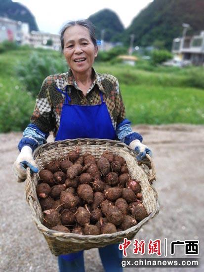 貧困村更村小香芋通過移動電商平臺上市銷售,農戶喜笑顏開。