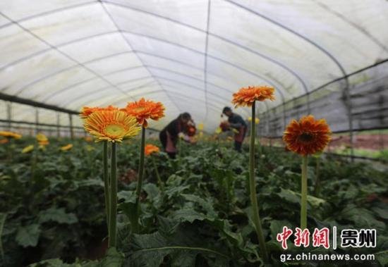 貴州省赤水市寶源鄉聯奉村的村民在大棚內采收非洲菊。 王長育 攝