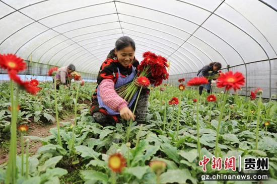 贵州省赤水市宝源乡联奉村的村民在大棚内采收非洲菊。 王长育 摄