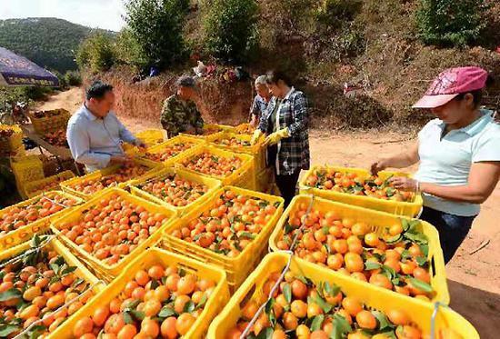 村民對沙糖桔進行分揀裝箱。