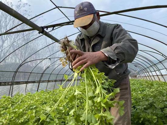 圖為奉化種植戶采摘蔬菜。 奉化提供