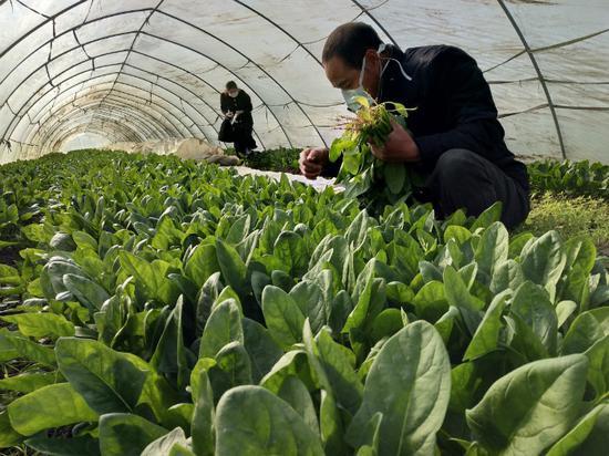 圖為象山種植戶采摘蔬菜。  象山提供
