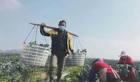 图为:临海市上盘镇农民正在采收西蓝花  临海市广播电视台提供