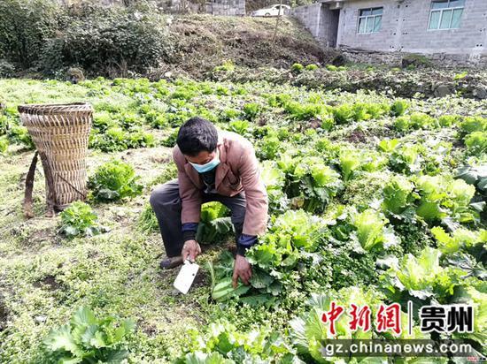 毕节市七星关区普宜镇道角村的村民正在地里收割大白菜
