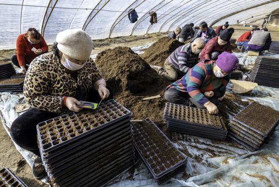 """图说2月11日,在新疆巴音郭楞蒙古自治州尉犁县古勒巴格乡生态蔬菜育苗基地,村民们与""""访惠聚""""驻村工作队正在大棚里培育蔬菜幼苗。李飞 摄"""