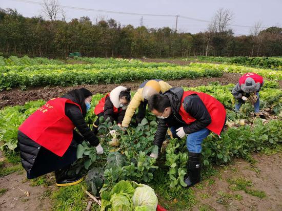 图为支援帮助菜农收菜。镇海宣传部供图