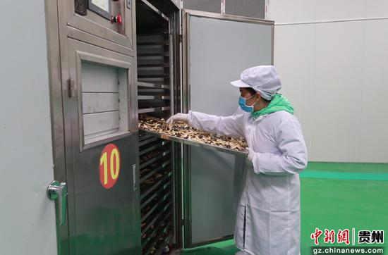 平塘黔茸菌业发展有限责任公司工人正在烘干松茸