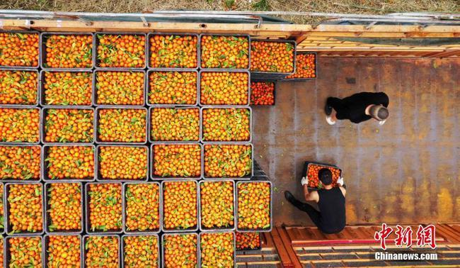 """广西北部山区果农采收16吨砂糖橘捐赠武汉抗""""疫"""""""