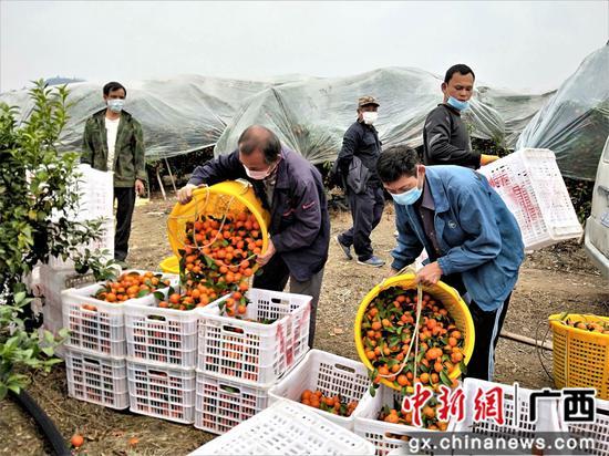 广西鹿寨果农复工采摘水果外运解