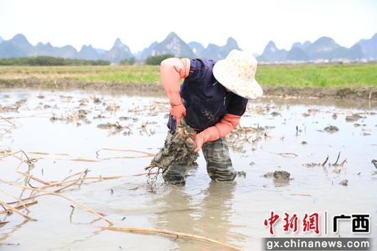 农民正在种藕。 谢灿敏 摄