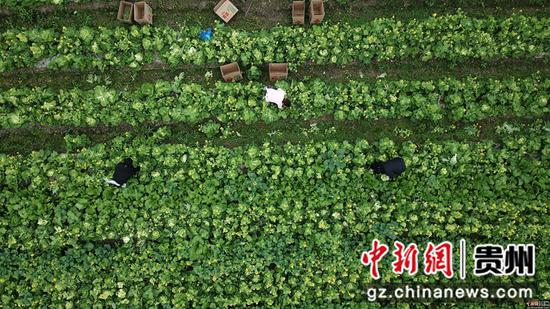 2月24日,村民在貴州省榕江縣車江大壩蔬菜基地里采摘菜苔 王炳真 攝