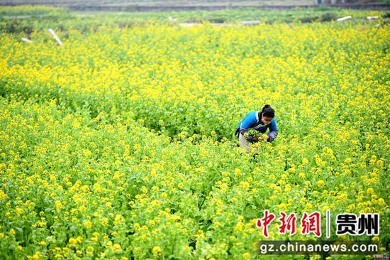 2月24日,一名婦女在貴州省榕江縣車江大壩蔬菜基地里采摘菜苔。  王炳真 攝