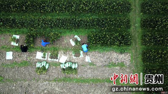 2月24日,村民在貴州省榕江縣忠誠鎮油茶苗基地里勞作。王炳真 攝