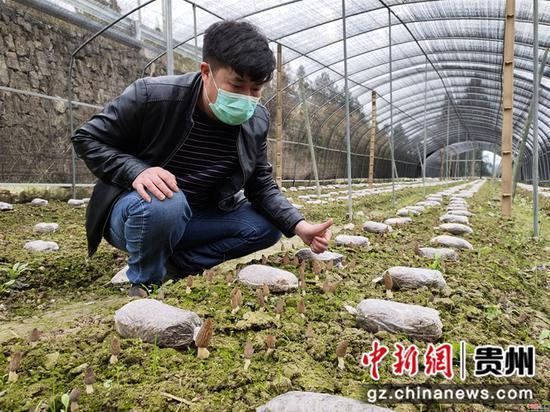 图为龙河村副支书李正彪在查看羊肚菌长势