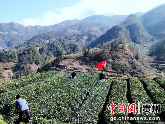 脚尧茶园管护人正在修剪茶树